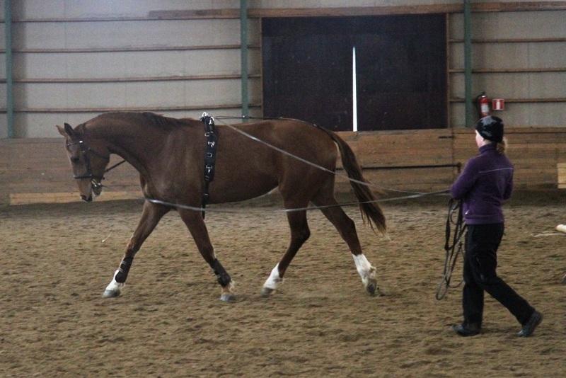 Mitä tehdä kun nuori hevonen kääntyy ympäri ohjasajaessa?