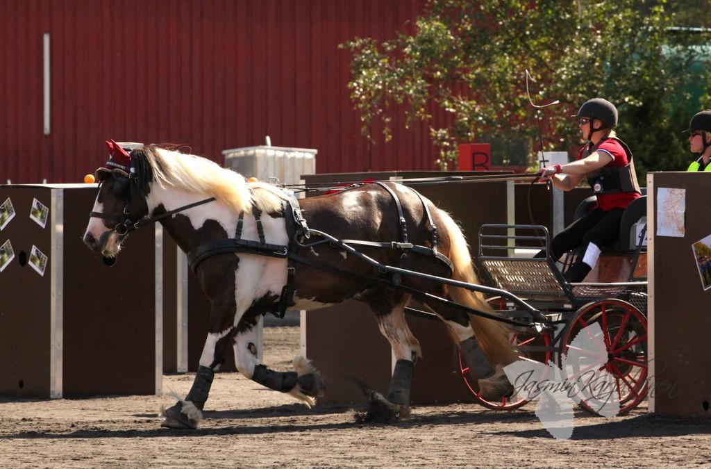 Miten valmentaa nuorta hevosta kilpailukauteen